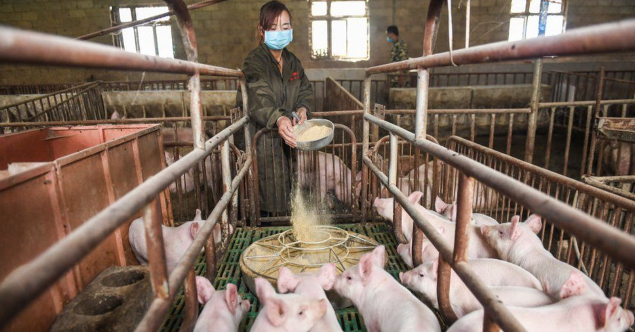 Huawei turns to pig farming as smartphone sales fall