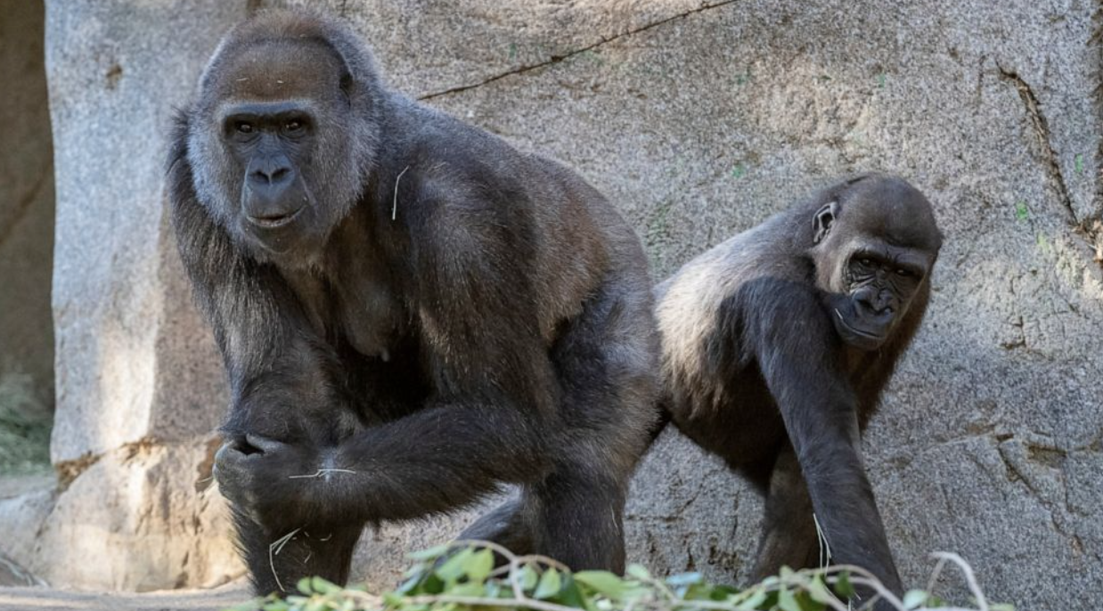 San Diego Zoo vaccinates great apes against COVID-19