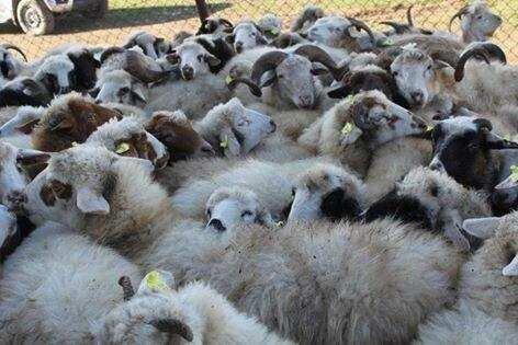 2016 წელს კატარსა და საუდის არაბეთში 11 800-მდე ცხვრის ექსპორტი განხორციელდა