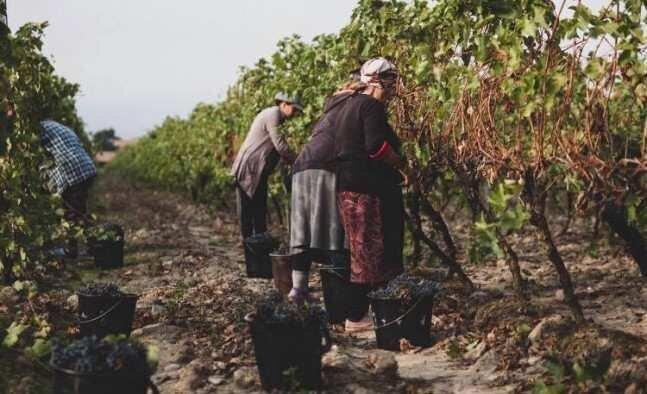 საქართველოში, ბოლო მონაცემებით, 263 ათასი ტონა ყურძენი გადამუშავდა