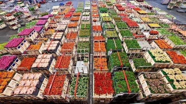 ჰოლანდიაში 140 მლნ-ზე მეტი ტიტა განადგურდა – ყვავილების ბიზნესის გლობალური ზარალი $8,5 მლრდ-ია