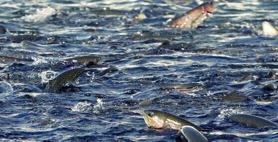 2019 წელს საქართველოში თევზის წარმოება 3.5%-ით გაიზარდა