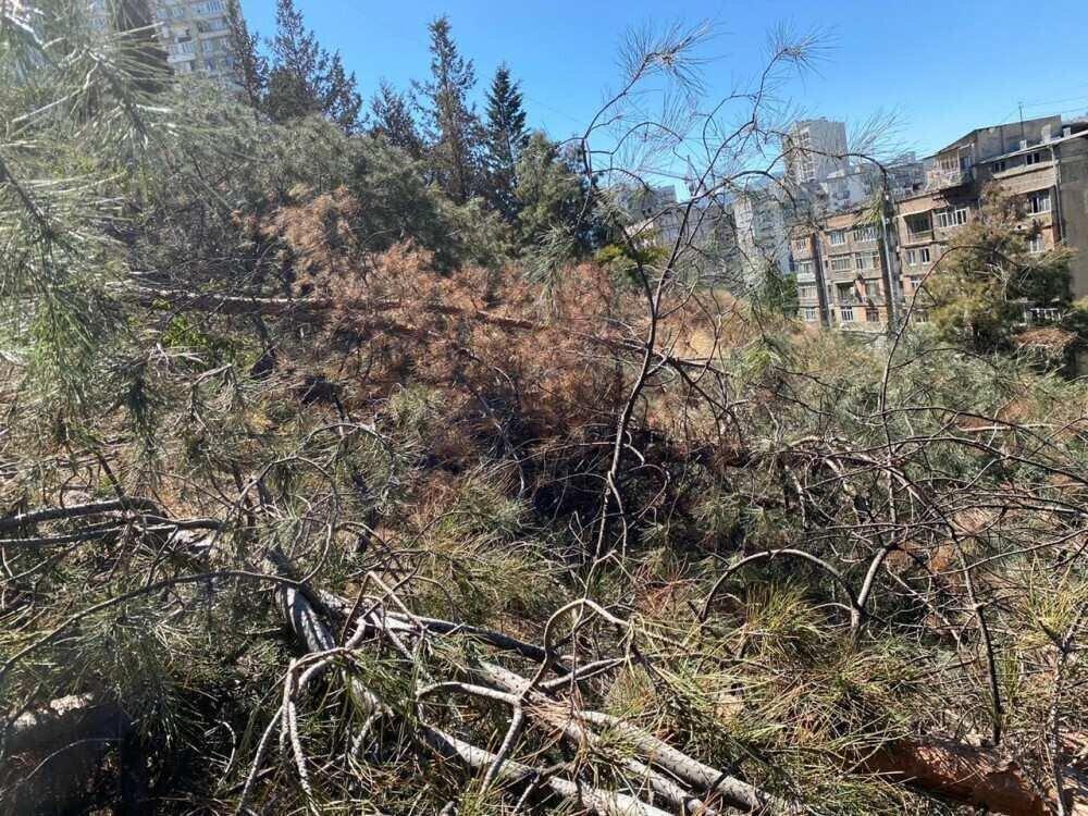 საბურთალოს რაიონში 150–მდე დაავადებული და ხმობადი ხე მოჭრეს