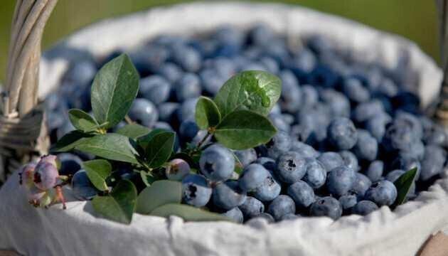 """""""საქართველომ წელს ლურჯი მოცვის ექსპორტის ახალი რეკორდი მოხსნა"""" – East Fruit"""