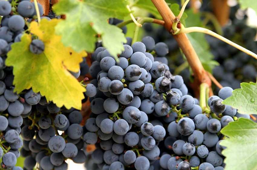 How did the vintage go? - the government acquired one third of the grapes