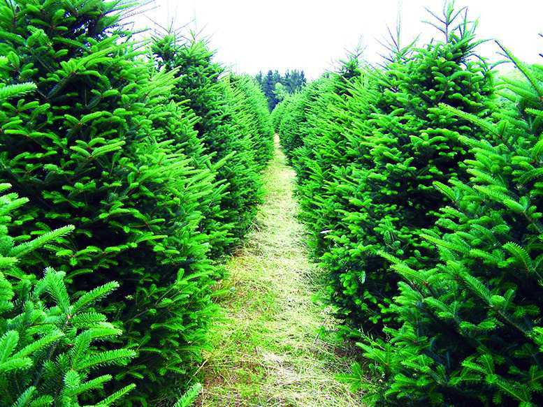 Fir-tree from Racha region and its seed will be patented