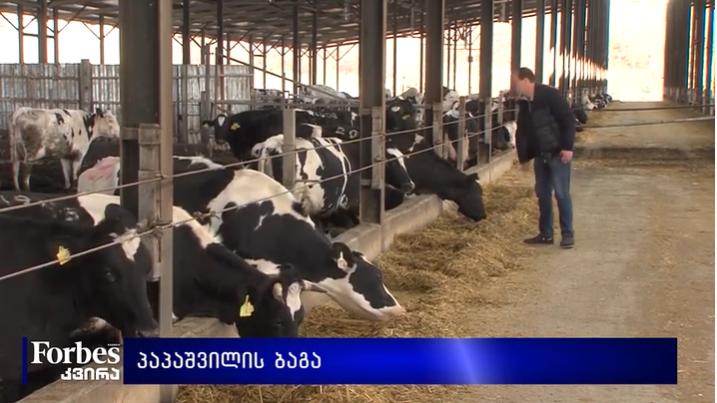 """""""სპორტსმენი ძროხები გვყავს, იმდენ კილომეტრს გადიან, რაღა უნდა მოიწველონ"""" - ლაშა პაპაშვილი"""