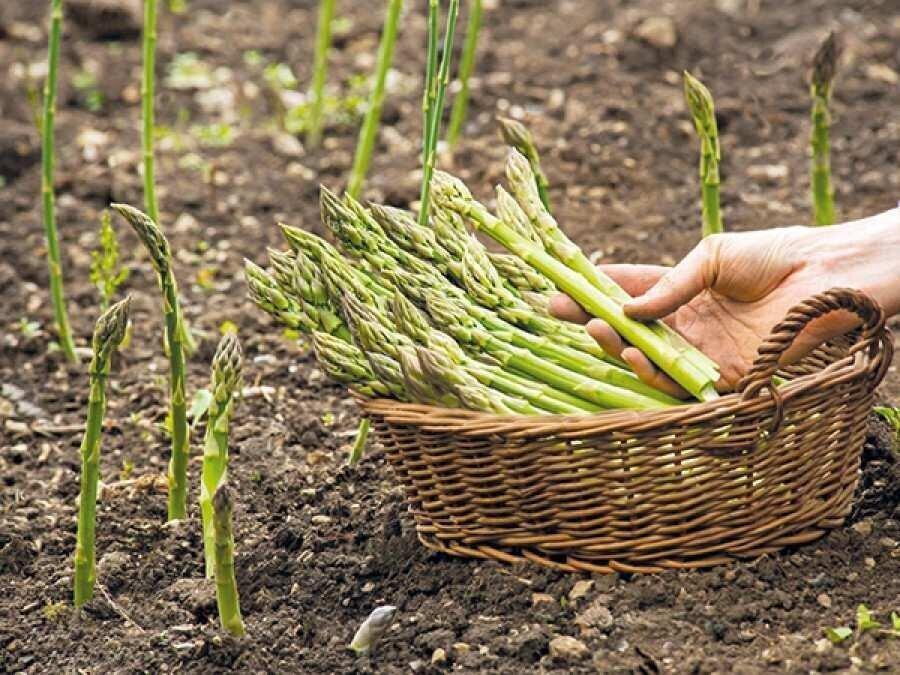 Geofresh: Georgian Asparagus is highly demanded