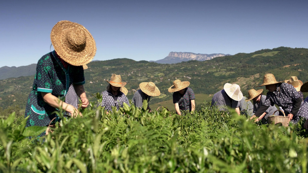 Geoflower Starts Producing Organic Mountain Tea