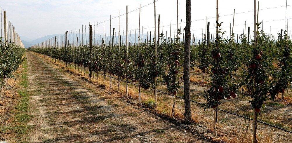 """ჯერჯერობით ჩვენთვის ვაშლის ექსპორტი სასიცოცხლოდ მნიშვნელოვანი არ არის - """"ტირიფონის ხილი"""""""