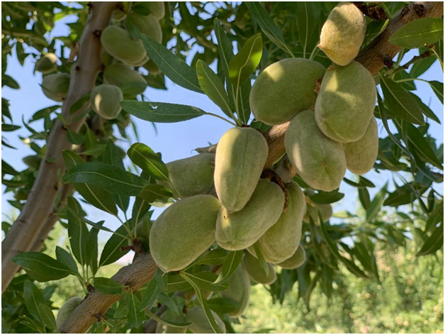 How Can Georgia Build a Successful Almond Industry – US Expert