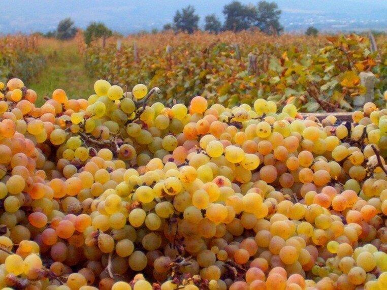 რთველის სუბსიდირება წელსაც იქნება - რა ეღირება ყურძენი?